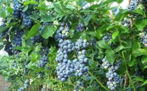 Успешное выращивание голубики