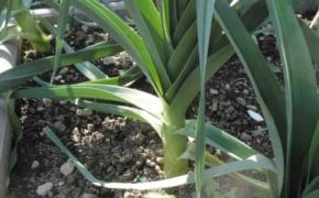 Выращивание лука латука