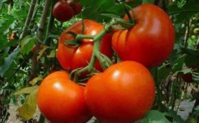 Формировка ранних сортов томата
