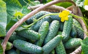 Секреты правильного выращивания огурцов на участке