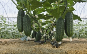 10 способов для повышения урожайности огурцов