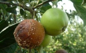 Как защитить урожай яблонь от монилиоза?