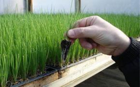 Выращивание лука, используя рассадный способ