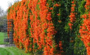 Кампсис - красивоцветущая лиана для украшения сада