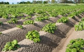 Голландские секреты выращивания картофеля