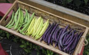 Практические аспекты летнего посева бобовых культур