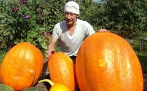 Секреты получения богатого урожая тыквы