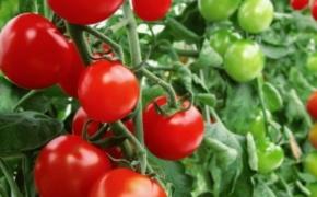 Защита помидоров от резкого летнего похолодания