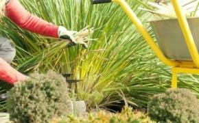 Обрезка лилейников: готовим растение к зиме