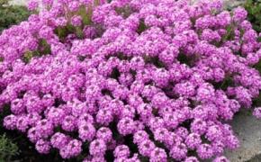 Садовой крылотычинник. Особенности ухода и выращивания