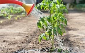 Как часто поливать помидоры на грядке