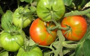 Ускоряем созревание помидоров безопасными методами