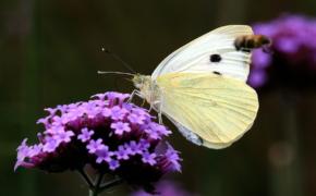 Как бороться с бабочкой-капустницей