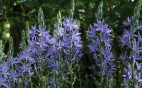 Цветок камассия. Уход и выращивание в садах