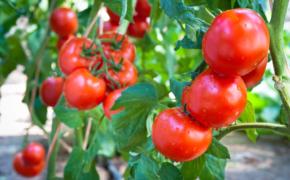 Как увеличить урожай помидоров?
