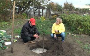 Посадка плодовых деревьев летом: какие нюансы нужно учитывать