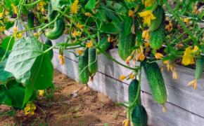 Как продлить и сохранить до осени плодоношение огурцов