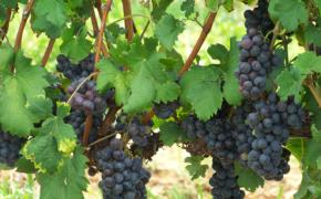 Главные вредители винограда и методы борьбы с ними