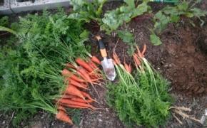 Когда лучше копать морковь