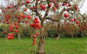 Основные правила ухода за яблонями после сбора плодов