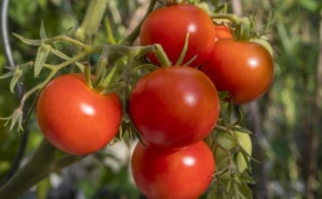 5 советов для выращивания сладких томатов