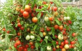 Чтобы помидоры успели созреть