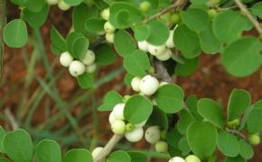 Секуринега. Особенности ухода и выращивания в саду