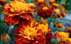 Бархатцы: секреты по уходу за солнечным цветком
