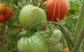 Сохранение кустов с помидорами на зиму