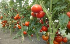 7 секретов высокорослых томатов