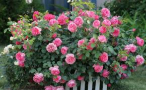 Кустовые розы: посадка и уход осенью
