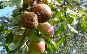 Яблоки гниют прямо на деревьях, в чем причина и что нужно делать