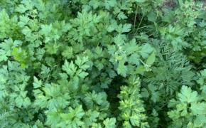 Выращиваем петрушку на своем огороде