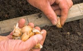 Выбор участка и подготовка почвы под посадку озимого чеснока