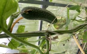 Как получать урожай огурцов до поздней осени