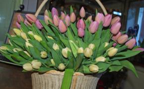 Правила выгонки тюльпанов в домашних условиях