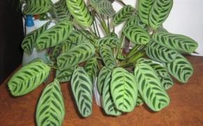 Растение Ктенанта. Как ухаживать в домашних условиях?