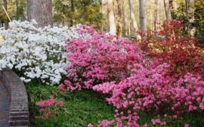 Рододендроны морозостойкие, подходящие для сада