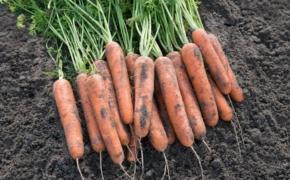 Необычный способ сохранить морковь до следующего урожая