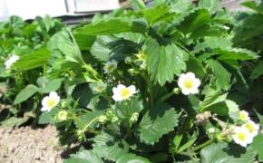 Чем опрыскать клубнику от вредителей, если на ней уже есть ягоды