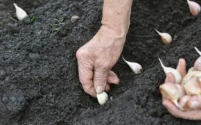 Мульчирование посадок озимого чеснока
