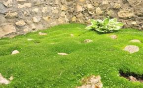 Мшанка шиловидная. Посадка и уход на садовом участке
