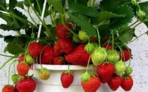 Лучшие сорта клубники для квартирного выращивания в горшках