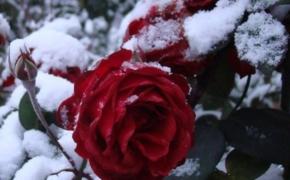 Укрытие роз на зиму в умеренном климате