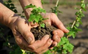 Способы размножения смородины