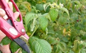 Правила обрезки сортовой малины осенью