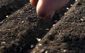 Подзимние посевы овощей и зелени