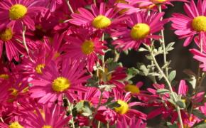 Корейские мелкоцветковые хризантемы: основные принципы выращивания