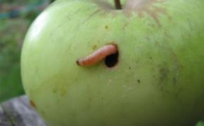 7 советов по борьбе с плодожоркой в саду