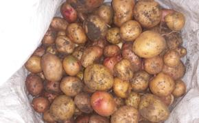 Почему картофель опять не уродился. Несколько частых причин